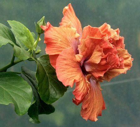 Hibiscus 'Anasazi Maiden'