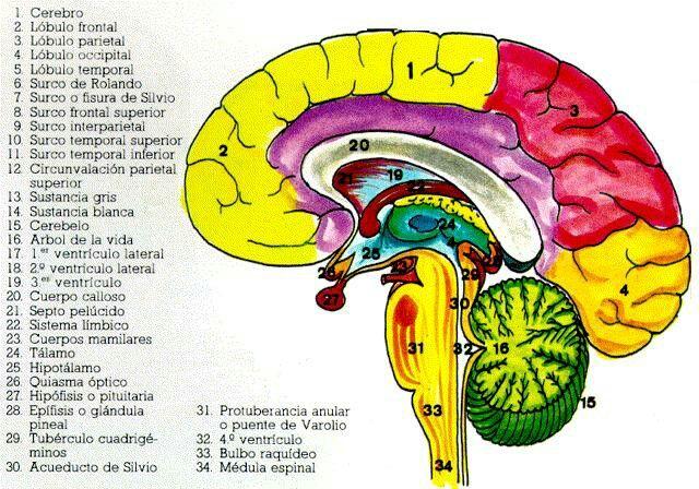 Pin En Anatomía