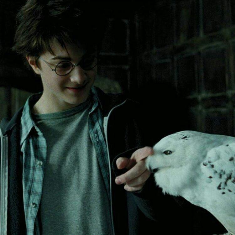 Harry Potter Hedwig Harry Potter Hedwig Harry Potter Background Harry James Potter
