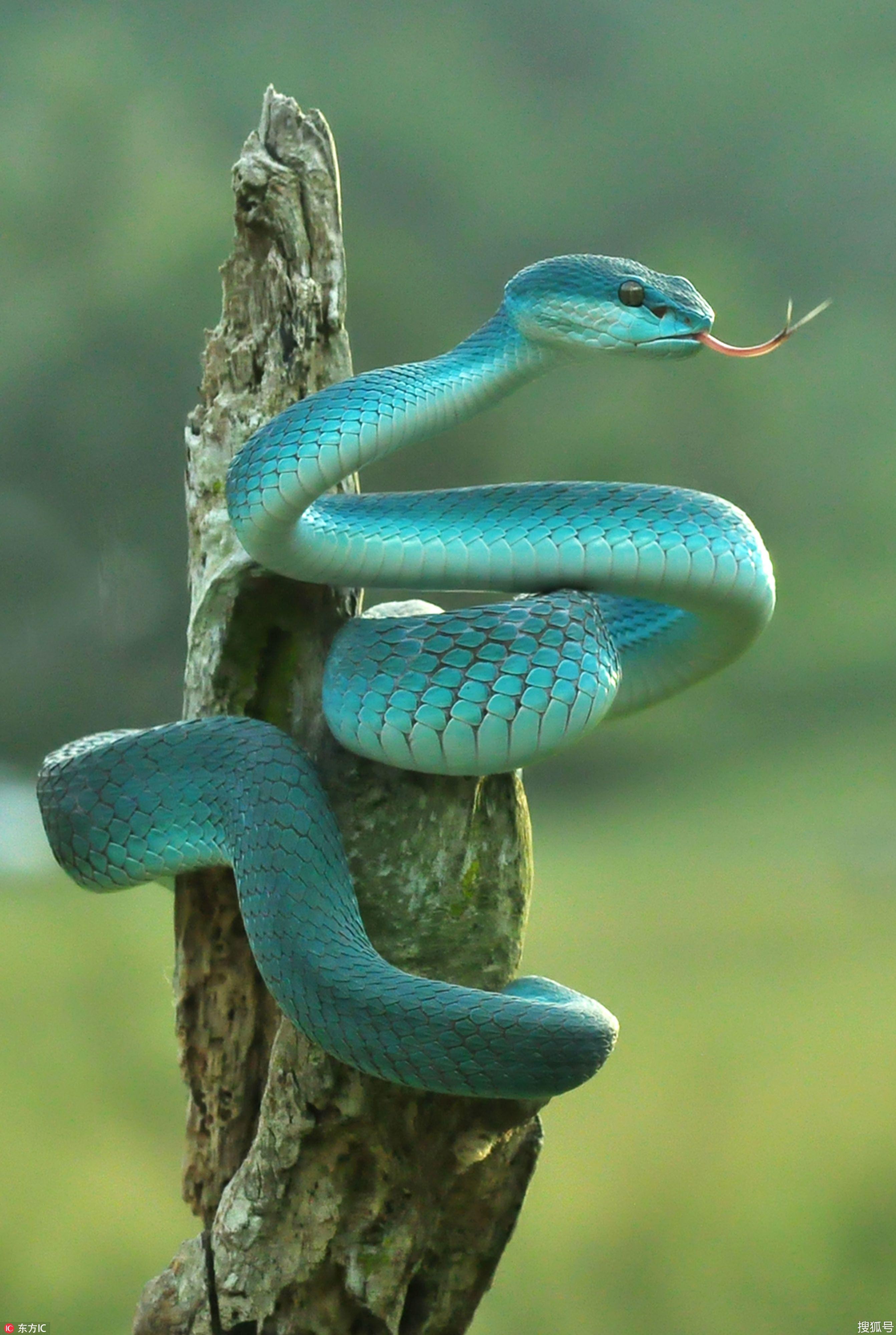 18+ Blue viper wallpaper Wallpaper