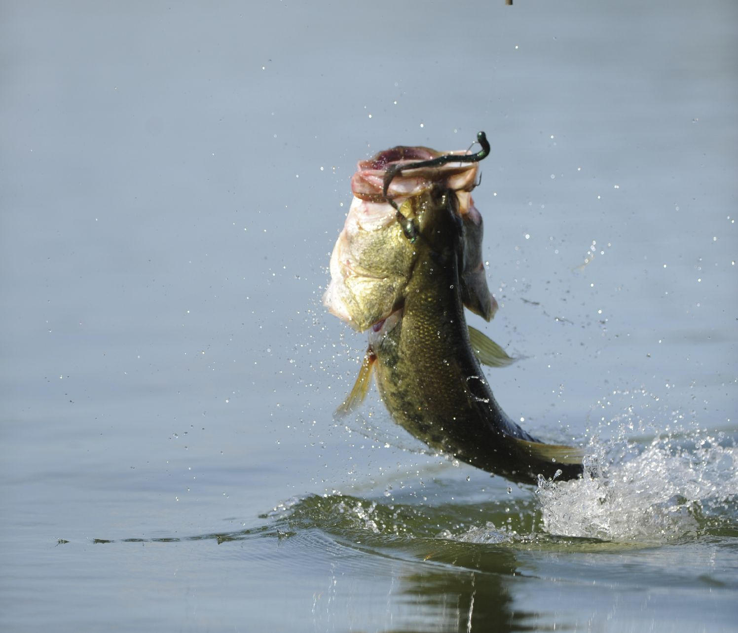 real largemouth bass jumping amazing wallpapers