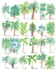 Palm Tree Species Comparing Leaves And Seeds Details