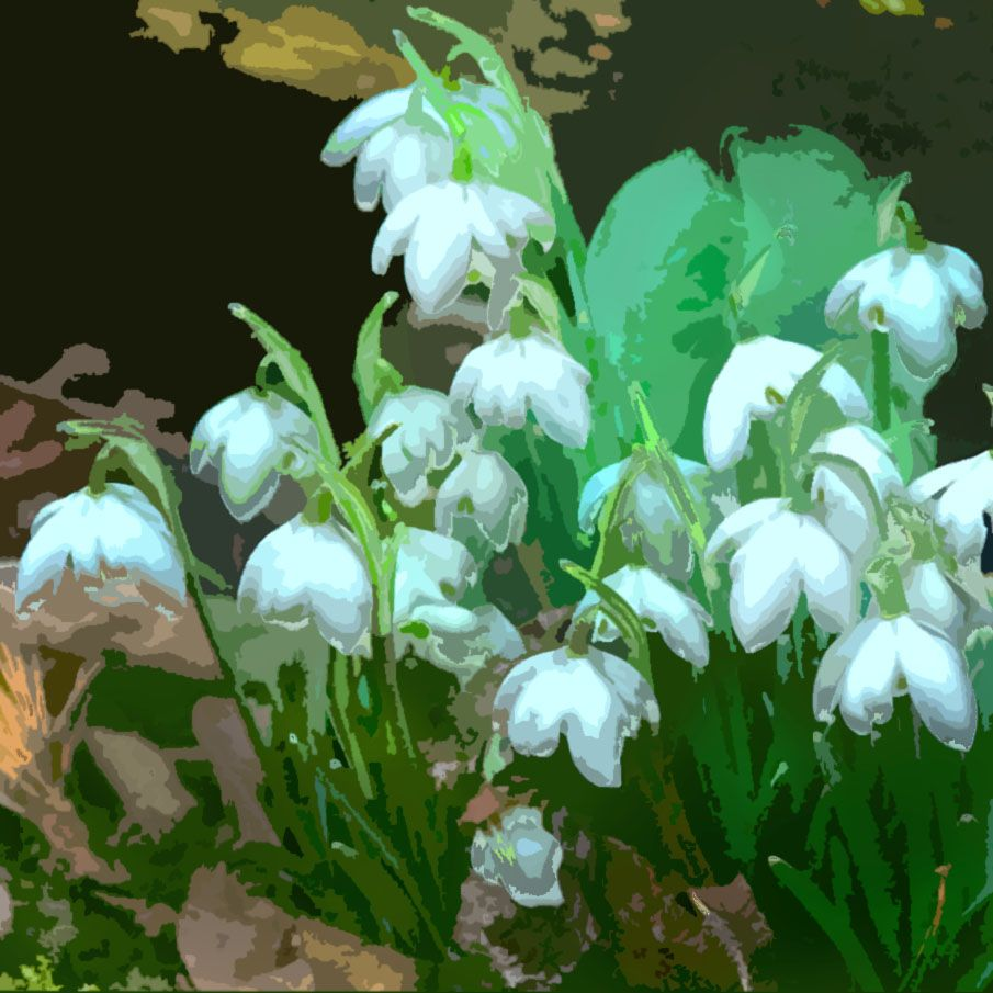 Snowdrops Are One Of The Few Flowers That Only Come In One Colour