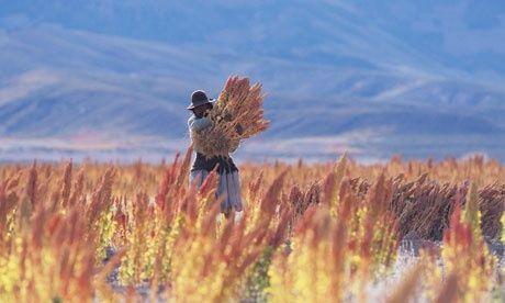 FARMING QUINOAS UM BOLÍVIA. THEGUARDIAN