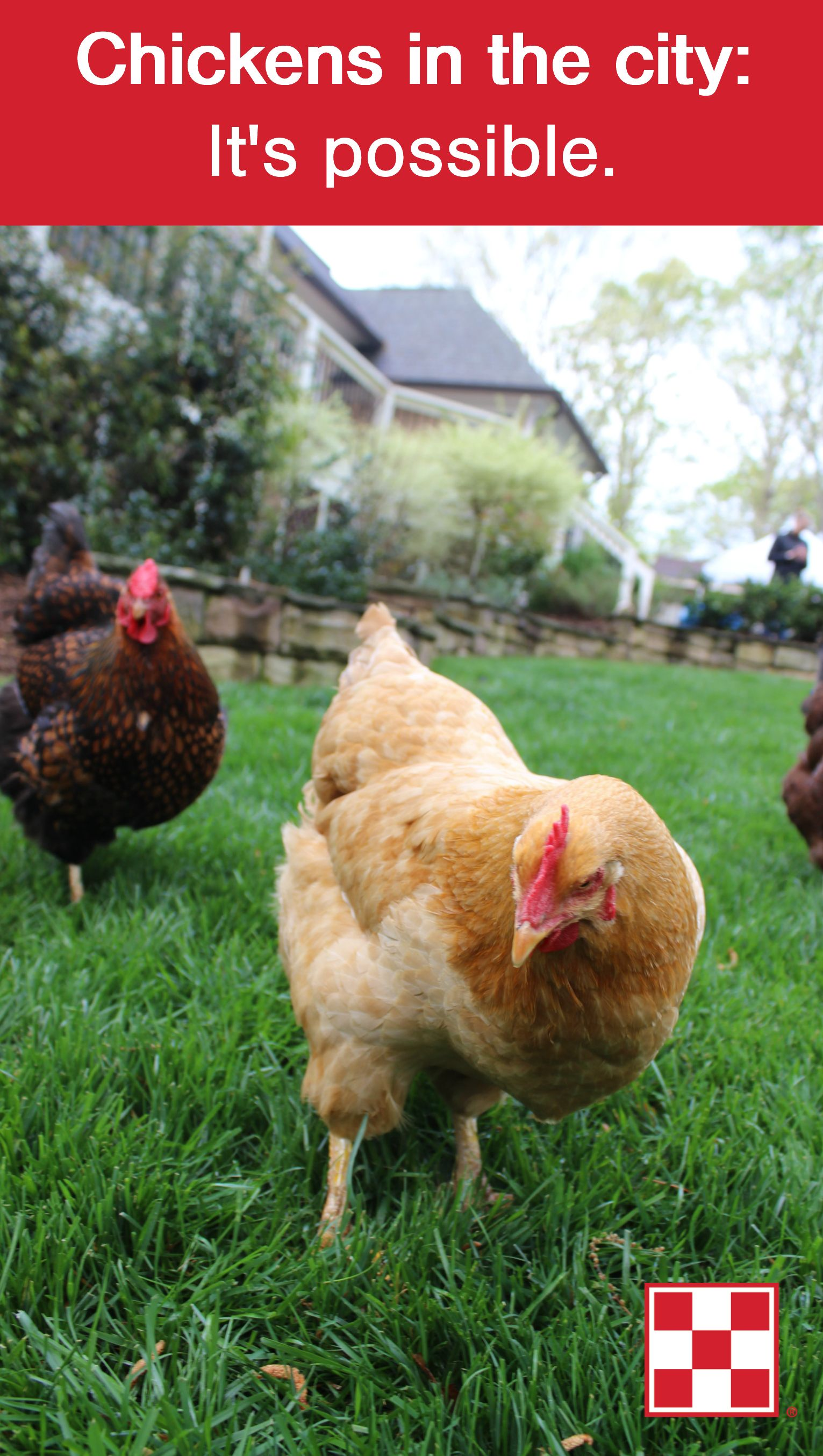 Raising Backyard Chickens In Your Area | Chickens backyard ...