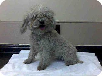 Las Vegas Nv Poodle Miniature Meet Lyly A Dog For Adoption