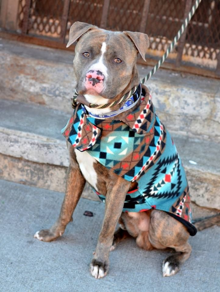 Brooklyn Center KOREA - A1023888 **SAFER: AVERAGE HOME** MALE, BR BRINDLE / WHITE, PIT BULL MIX, 3 yrs OWNER SUR - EVALUATE, NO HOLD Reason LLORDPRIVA Intake condition UNSPECIFIE Intake Date 12/23/2014, From NY 11245, DueOut Date 12/23/2014,, https://www.facebook.com/photo.php?fbid=934272869918926%2F