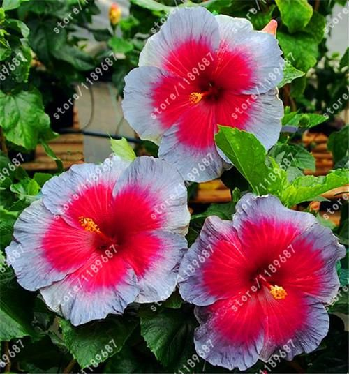200pcs Bag Hibiscus Flower Seeds Seed Bonsai 24 Colors To Choose Plant For Home Garden Flowers And