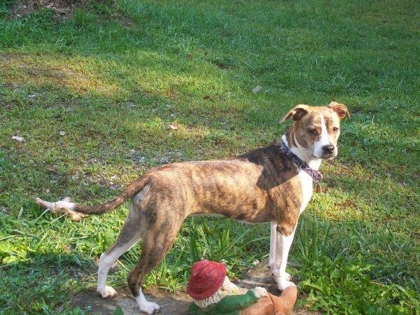 Phoebe Boston Terrier Pug Beagle Mix Beagle Mix Beagle Animals