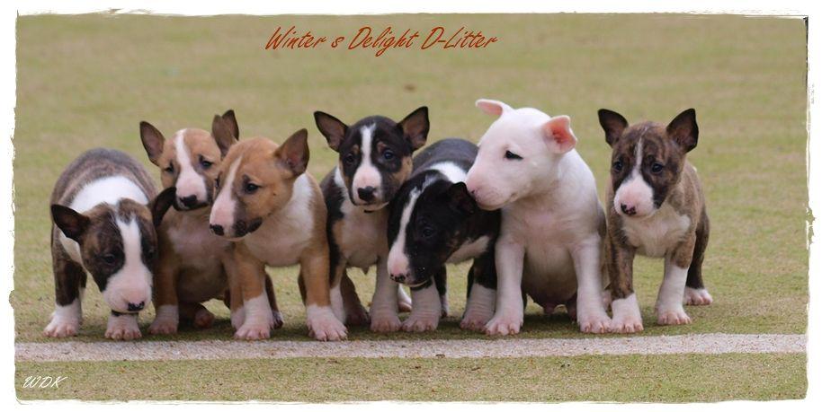 Miniature Bull Terrier Puppies D Litter From Winter S Delight
