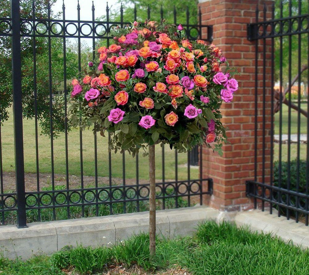 Cottage Farms Mardi Gras Mystique 2 N 1 Tree Rose Page 1 Qvc Com Plants Rose Trees Garden Planters