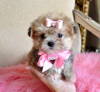 Teacup Peekapoo Puppy Cute Animals I Love Dogs Teacup Puppies