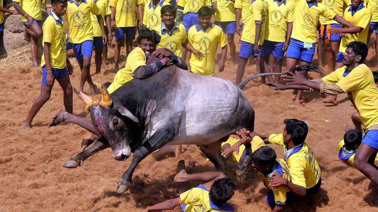 """Jallikattu"" The most Dangerous and Controversial Sport in"