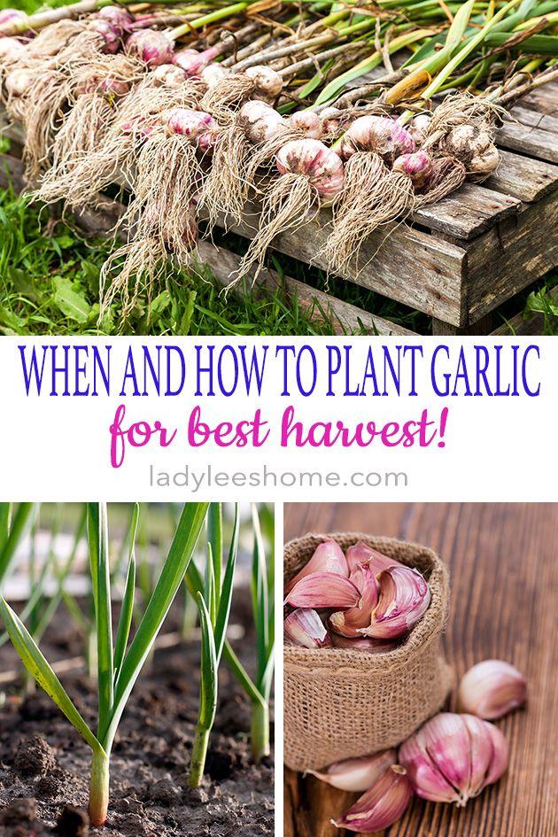 Planting Garlic in the Fall Jardin de tomates, Jardinage