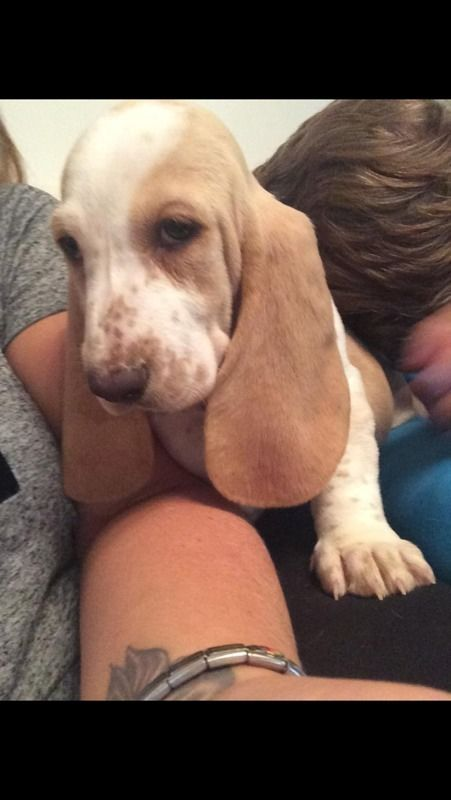 Basset Hound For Sale Lemon And White North Yorkshire Gumtree