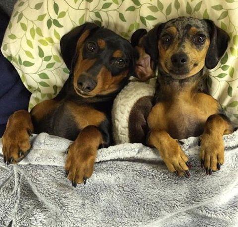 Pin By Beardhi On Doxie Dachshund Dog Dachshund Lovers