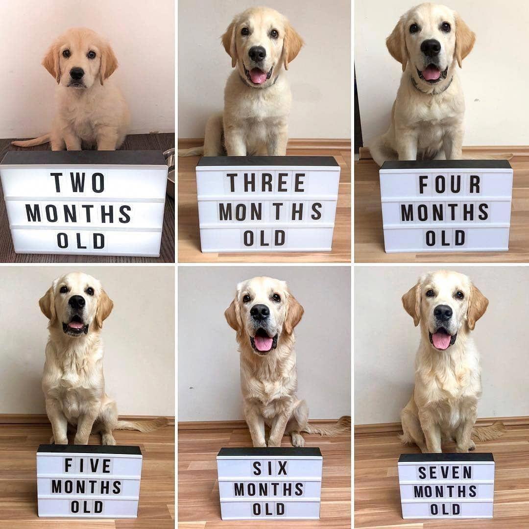 Golden Retriever Noble Loyal Companions Big Fluffy Dogs