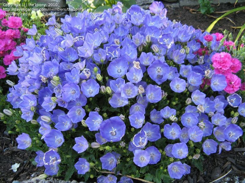 Pin By Dave S Garden On Dg Bloom Of The Day Campanula Bloom Campanula Flowers