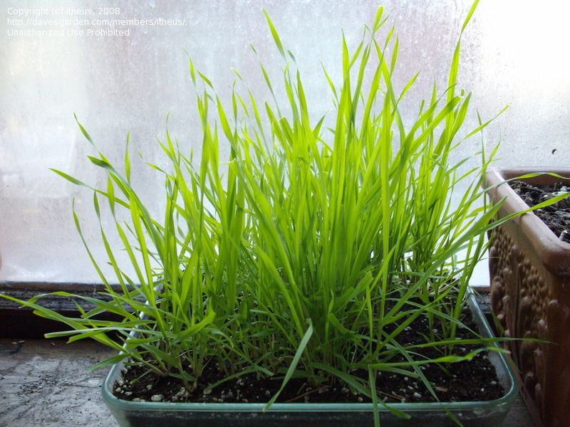 Phalaris brachystachys  short-spike canary reed grass  Contains DMT