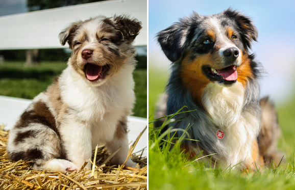 Australian Shepherd Shmac84 Getty Images Bigandt Photography