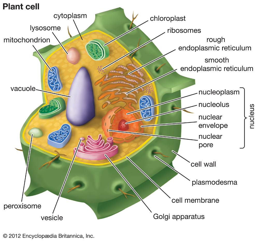 labeled model plant cell Google Search in 2020 Plant