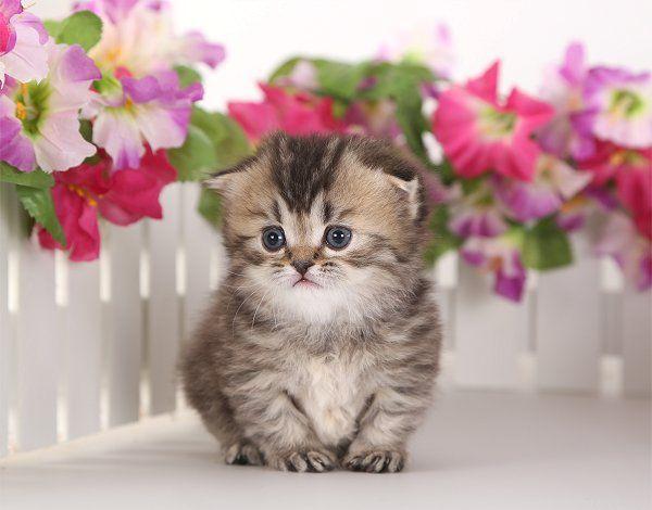 Teacup Rug Hugger Fold Kitten Www Dollfacepersiankittens Com