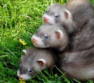 Pros And Cons Of Keeping Ferrets As Pets Pet Ferret Ferret Pets