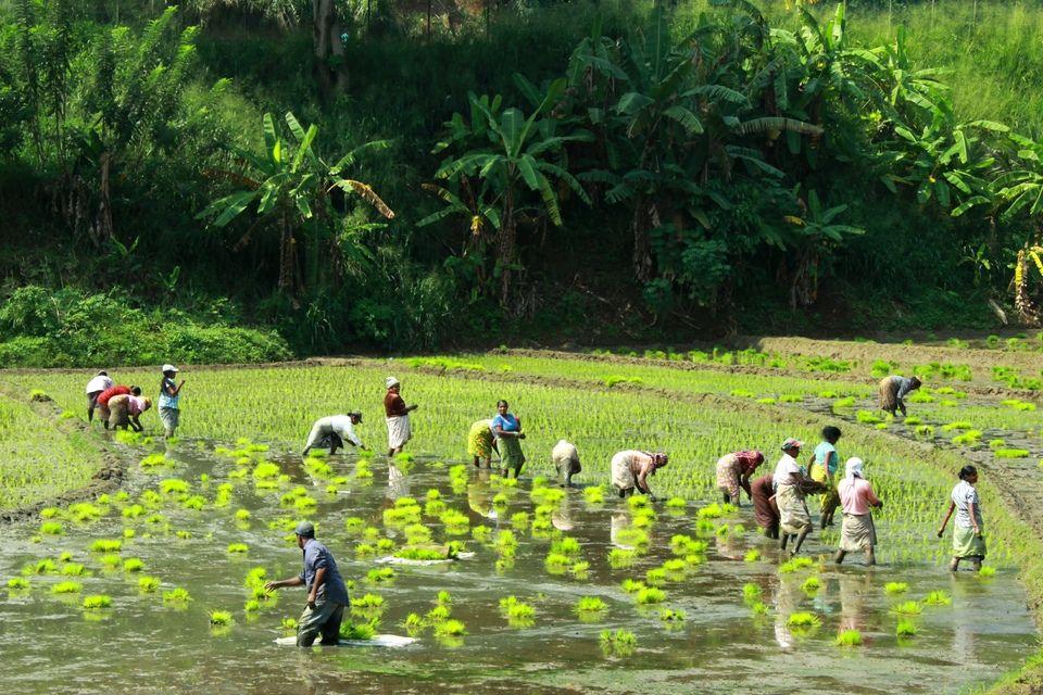 Famers planting paddy in waterlogged fields in Sri Lanka