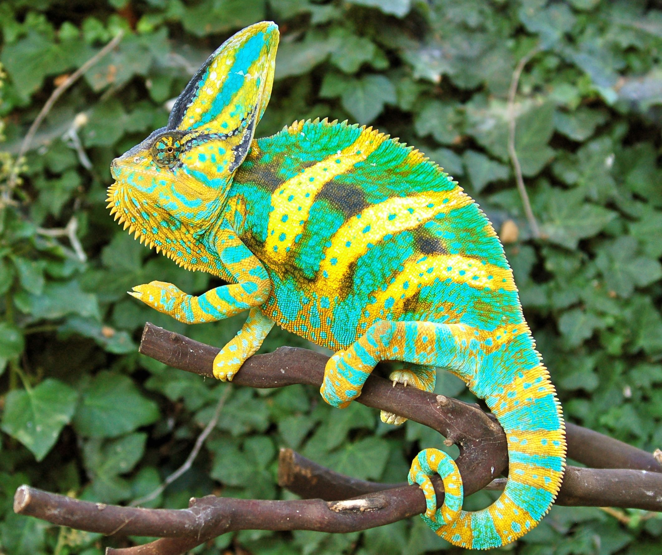 Premium Driskel Bloodline Baby Veiled Chameleon