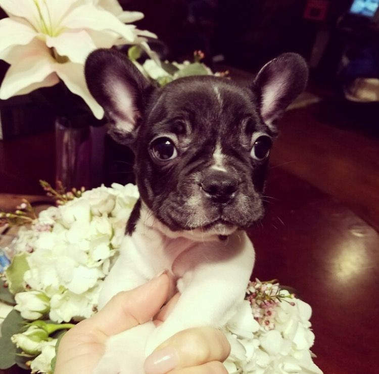 French Bulldog Puppy For Sale In Los Angeles Ca Adn 22363 On