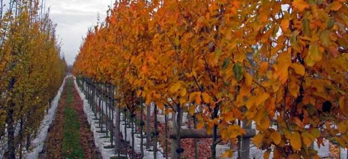 persian ironwood seedling | Parrotia persica (Persian Ironwood) 'Vanessa' | Barcham Trees