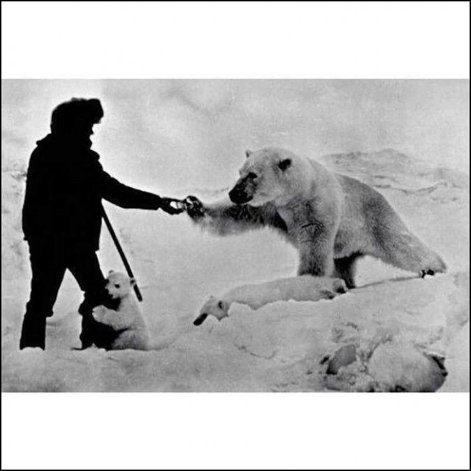 A 1970's Russian man feeding a polar bear and cubs with ...