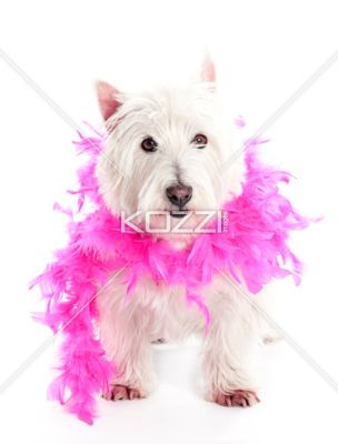 A West Highland White Terrior Looking At The Camera With A Boa On Download The High Resolution Of The Image Www Kozzi Com Or You Can Click Th Westies Cute Animals Animals