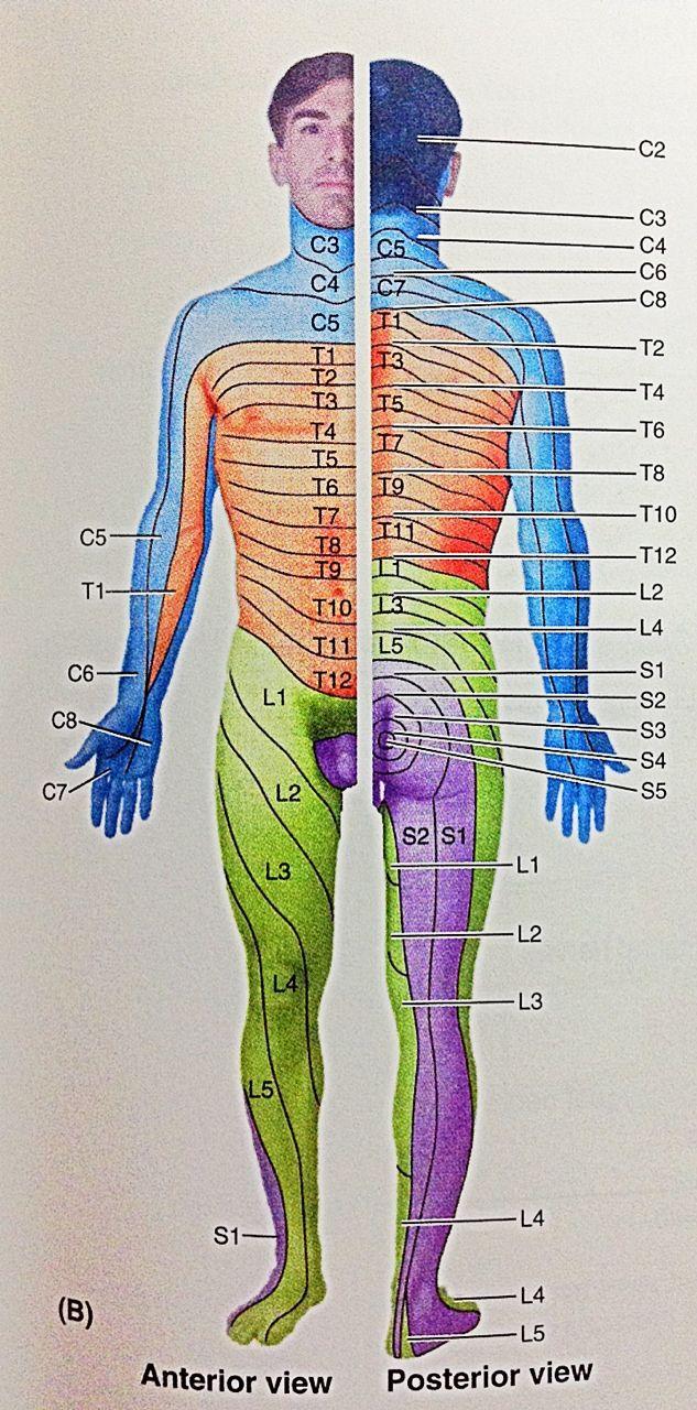 Dermatomes Moore Medicine Anatomy Human Head Sketches