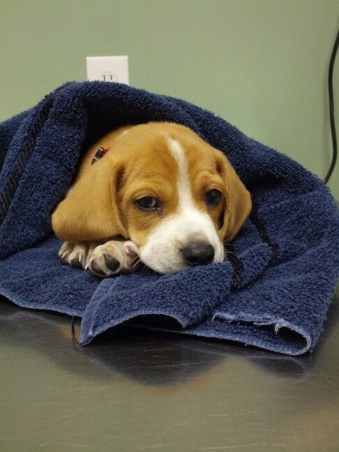 Beagle Puppy First Trip To The Vet Puppies Beagle Puppy