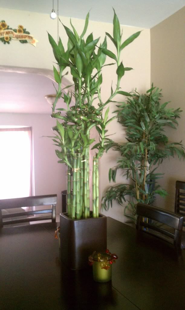 What are care instructions for Lucky Bamboo? in 2019   Lucky ... Names Of Tall Indoor Houseplants on tall indoor containers, tall vines, tall indoor shrubs, large houseplants, 10 most common houseplants, tall indoor grass, tall indoor bamboo, tall flowering houseplants, tall indoor foliage, tall books, tall indoor palms, leafy houseplants, tall indoor cactus, tall trees, tall indoor planters, tall flowers, tall modern houseplants, tall indoor fountains, types of tall houseplants, tall plants,