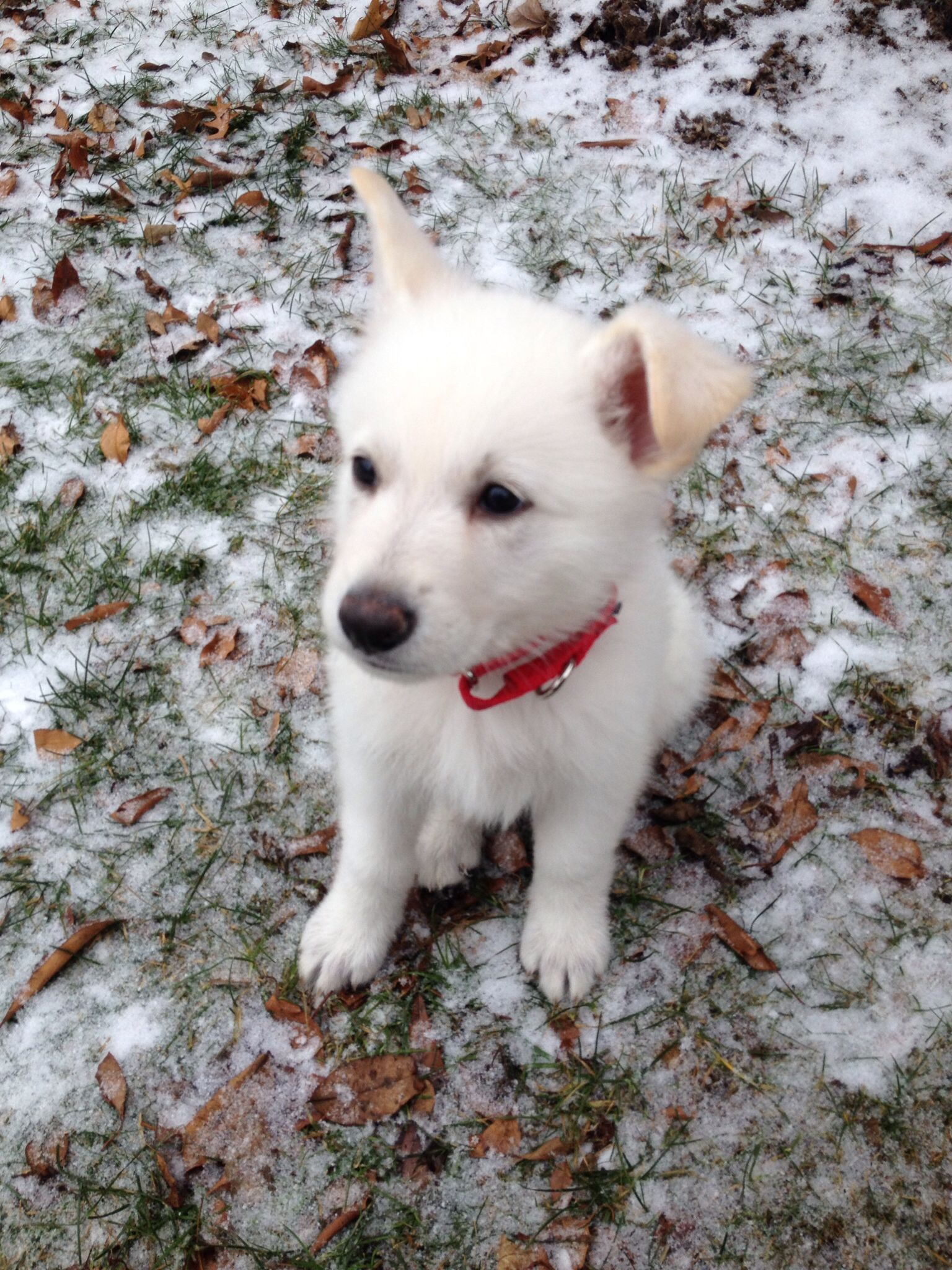 I M Almost 8 Weeks Old Datsyuk White German Shepherd White