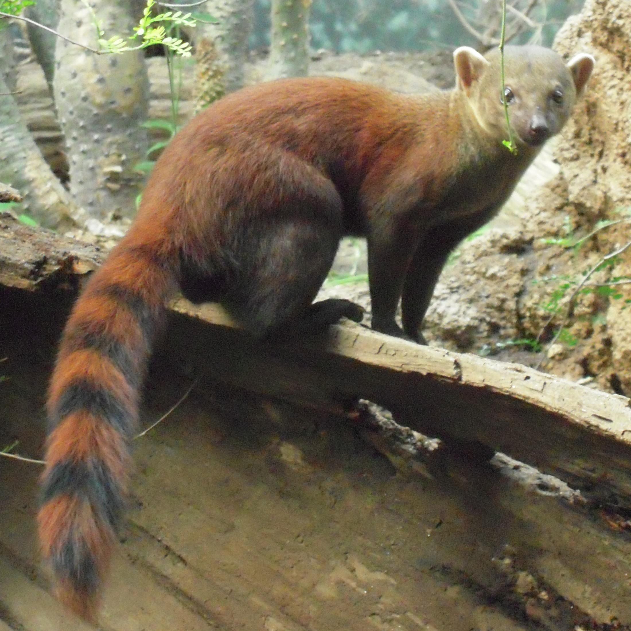 Мелкие хищники Animals, Mongoose, Mammals