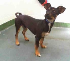 Adopt Charlee Tuna On Miniature Pinscher Animal Rescue Dogs