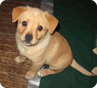 Downey Ca Beagle Pomeranian Mix Meet Bubbles A Puppy For