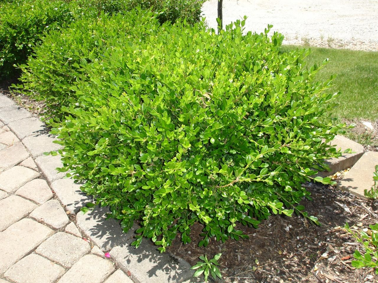 Types of bushes for your garden landscape ideas for How to plant bushes in front of house