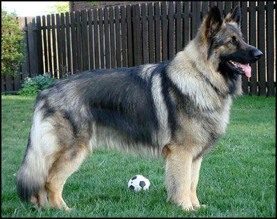 Shiloh Shepherd Shiloh Shepherd Dog Breeds Shepherd Dog Breeds