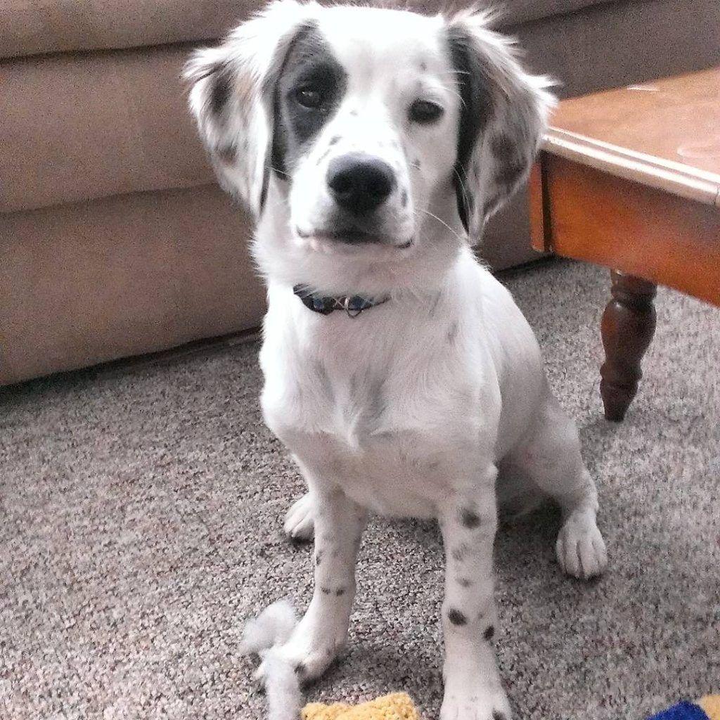 Dalmatian Mix Breeds 42 Adorable Dalmatian Mixes With Pics Mixed Breed Dogs Mixed Breed Puppies Mixed Breed