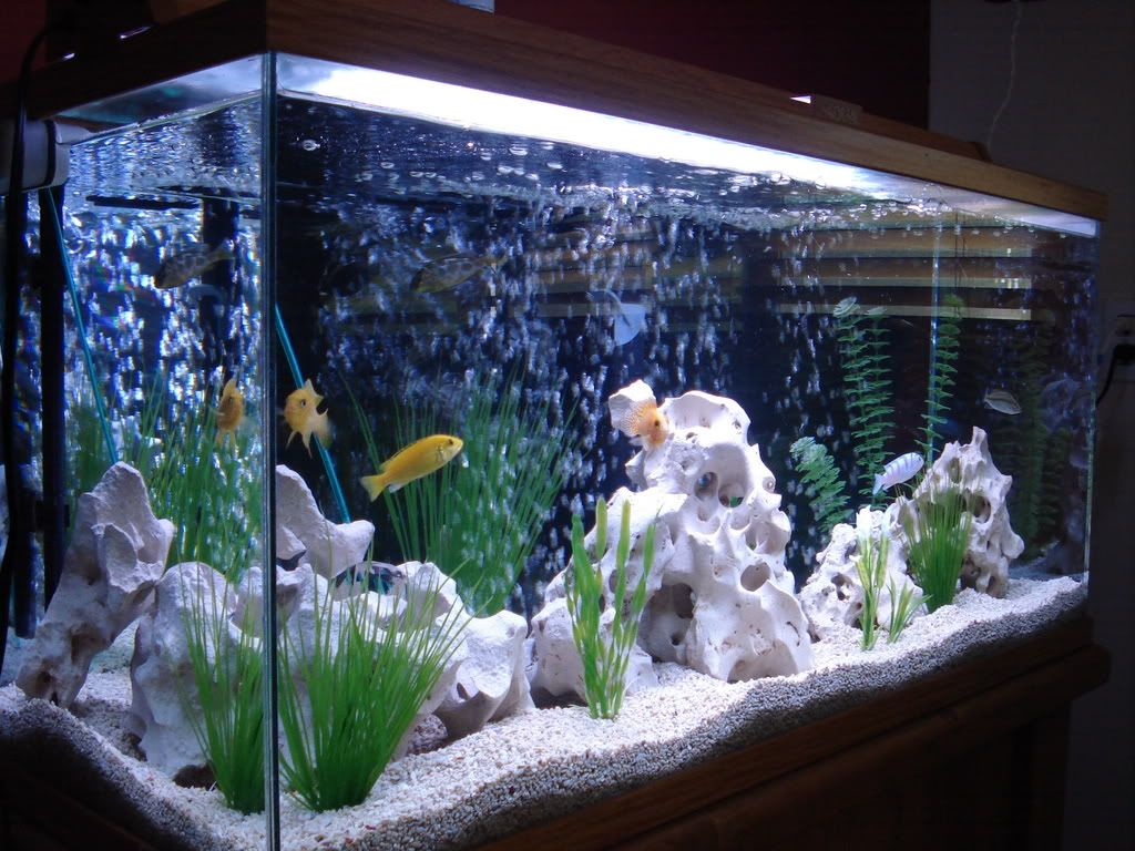 Aquarium ideas on pinterest cichlids african cichlids for Aquarium decoration design