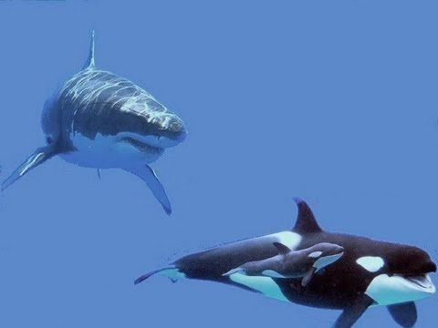 Great White Shark attacks Orcas protecting babys  | Whales