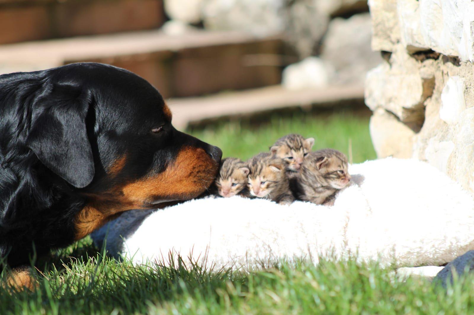Rottweiler Welpen Vom Zuchter Oder Privat Hunde Haustier Beagle Kaufen Oder Inserieren Bei Deinetierwelt Streunerherzen E V Hunde In 2020 Whippet Mix Whippet Beagle