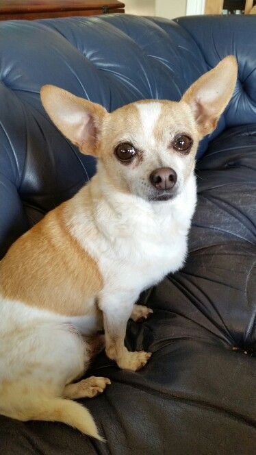 Chihuahua Kopek Chihuahua Love Chihuahua Puppies Chihuahua