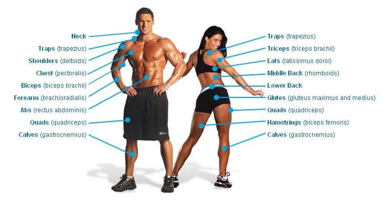 basic muscle anatomy chart | exercises | pinterest | exercise, Muscles