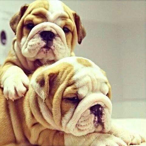 Pin By Michael Betts On Bulldogs Bulldog Puppies English Bulldog Puppies Bulldog