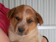 Red Male Cattle Pup Puppies For Sale O Connell New South Wales Australian Catt Australian Cattle Dog Blue Heeler Australian Cattle Dog Red Puppies For Sale
